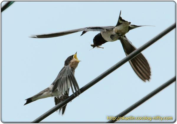 ツバメ幼鳥に餌を運ぶ親鳥 「坊やお口開けてー」