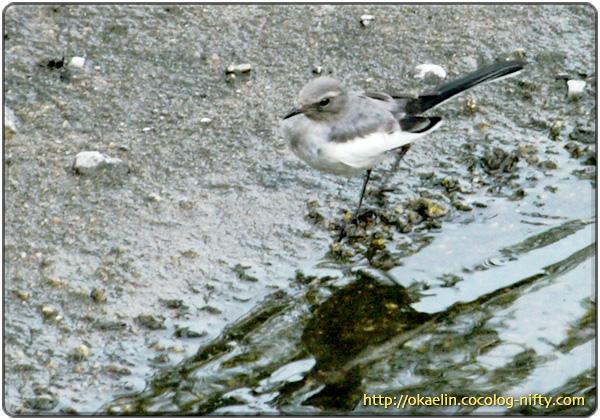 セグロセキレイ幼鳥