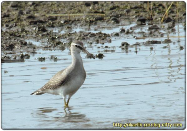 キアシシギ若鳥