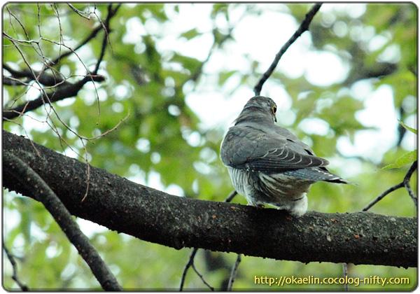 ツツドリ幼鳥
