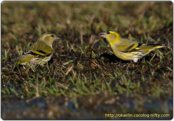 マヒワ成鳥♀(左)成鳥♂(右)
