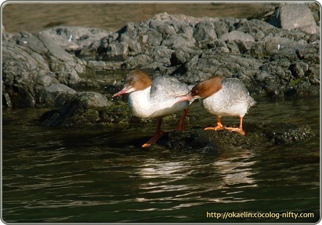 カワアイサ♀(左) 若鳥(右)