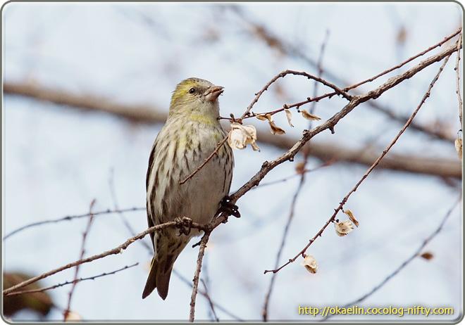 マヒワ若鳥
