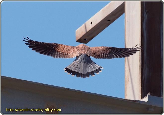 チョウゲンボウ♂ 飛翔の後ろ姿(腰から先がグレーです)