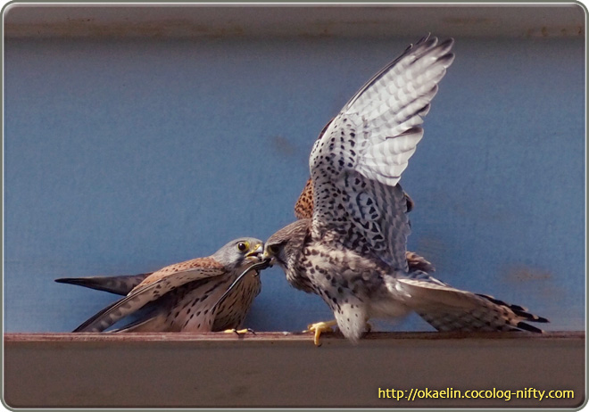 チョウゲンボウ 餌渡しのシーン(右♀、左♂)♀が一回り大きいのが判ります