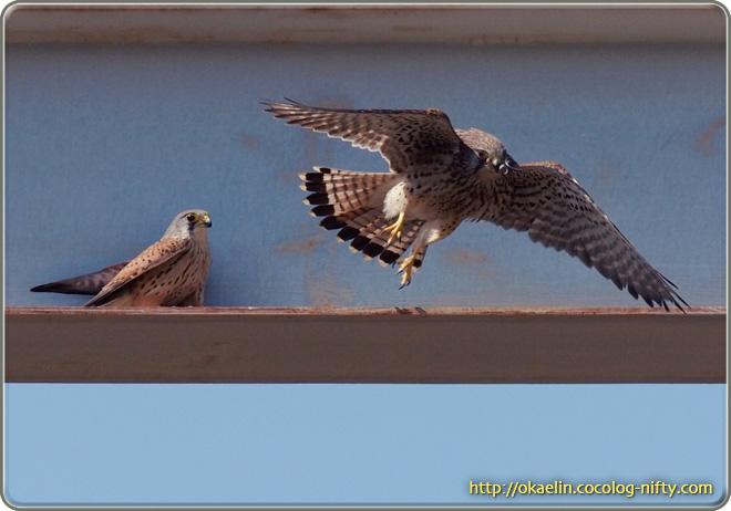 チョウゲンボウ(右♀の飛び出し、左♂)