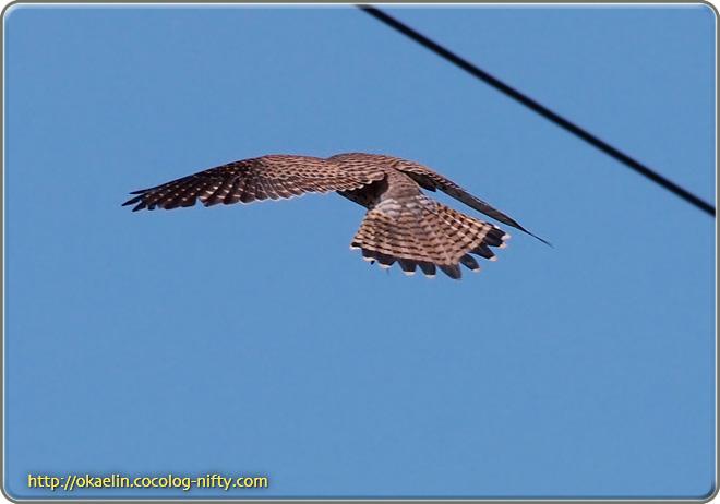 チョウゲンボウ♀ 飛翔の後ろ姿(腰から先も背中と同じ色合いです)