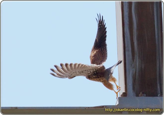チョウゲンボウ♂ 続けざまに柱の根元を蹴るように飛び出し