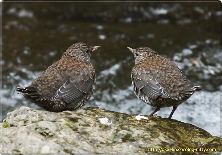 カワガラス幼鳥2羽