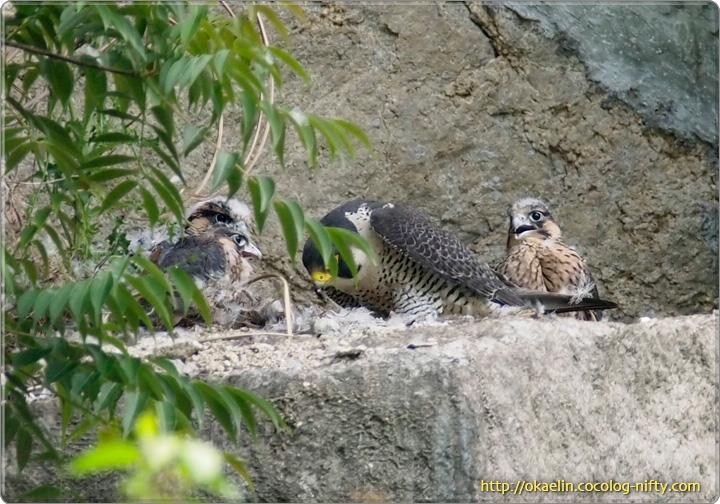 ハヤブサ(雛と親鳥♀)