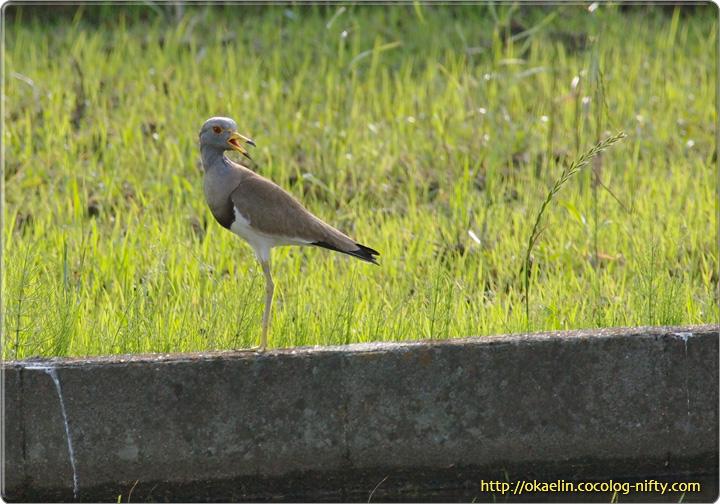 ケリ辺りを警戒する親鳥