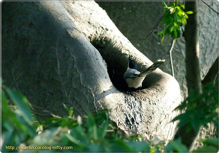 オナガ成鳥