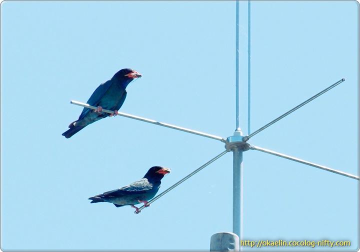 ブッポウソウ親鳥(2羽ともセミをくわえています)