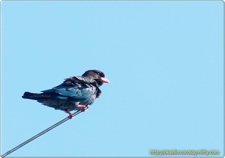 ブッポウソウ親鳥
