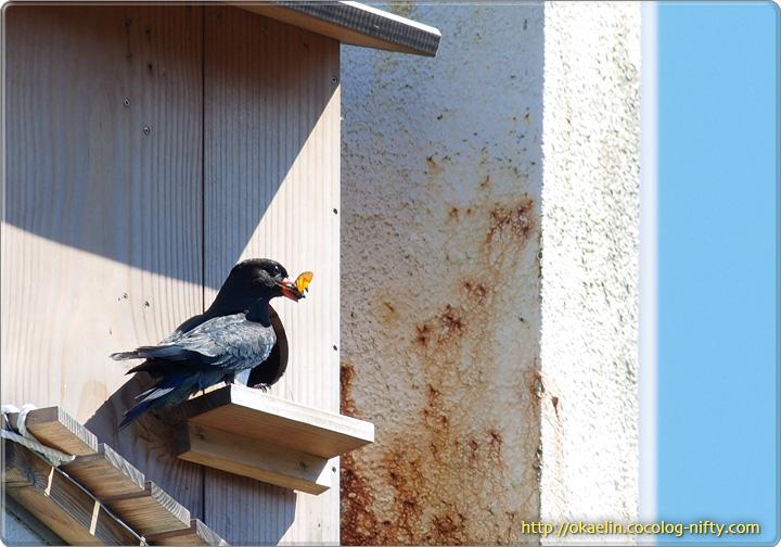 ブッポウソウ親鳥(セミをくわえています)