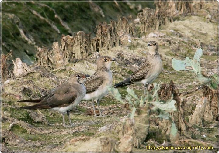 ツバメチドリ (手前)親鳥、(奥2羽)幼鳥