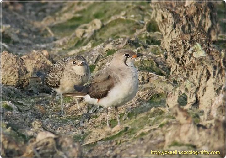 ツバメチドリ (手前)親鳥、(奥)幼鳥