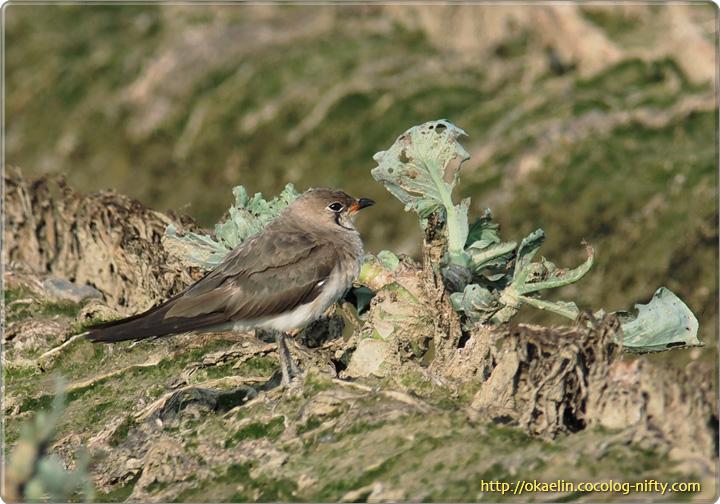 ツバメチドリ 親鳥