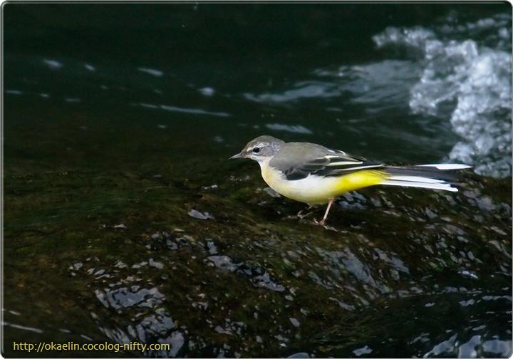キセキレイ親鳥
