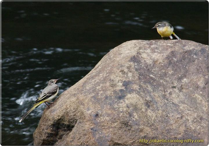 キセキレイ(左:親鳥 右:幼鳥)