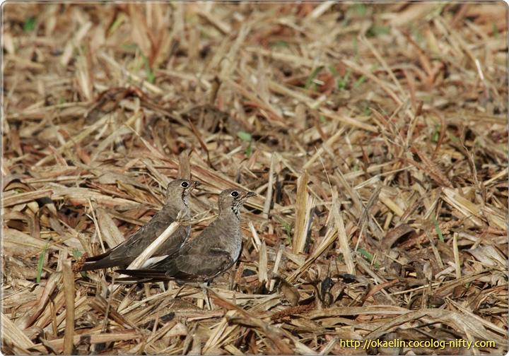 ツバメチドリ(左:♀、右:♂)