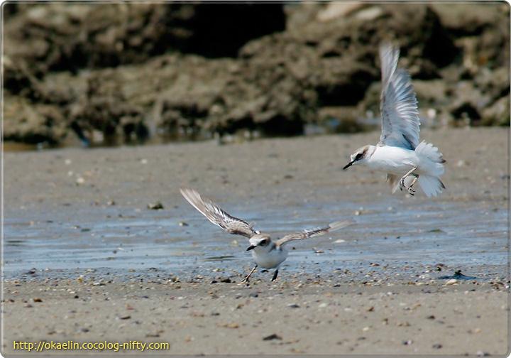 シロチドリ(2羽並びの次の瞬間、1羽が急襲)