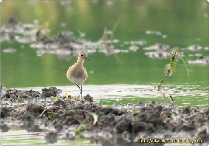 エリマキシギ幼鳥