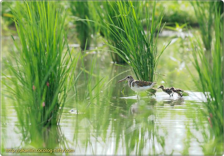 タマシギ♂親鳥と雛4羽