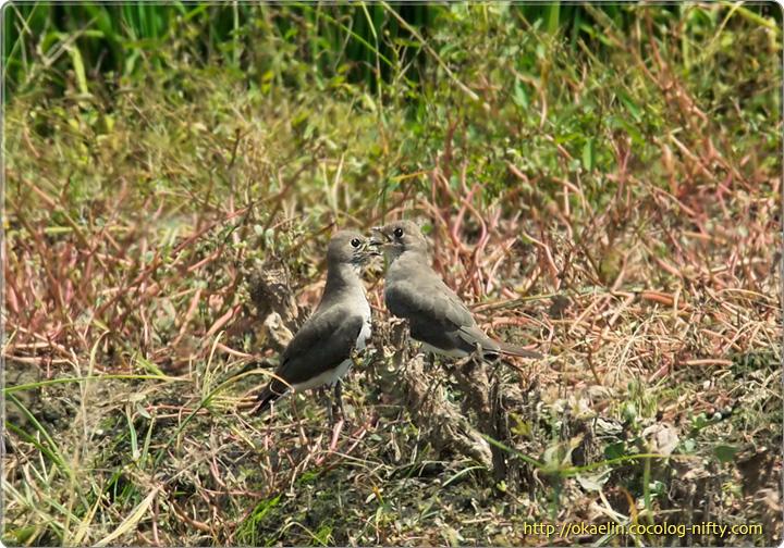 ツバメチドリ(左:♂、右:♀)