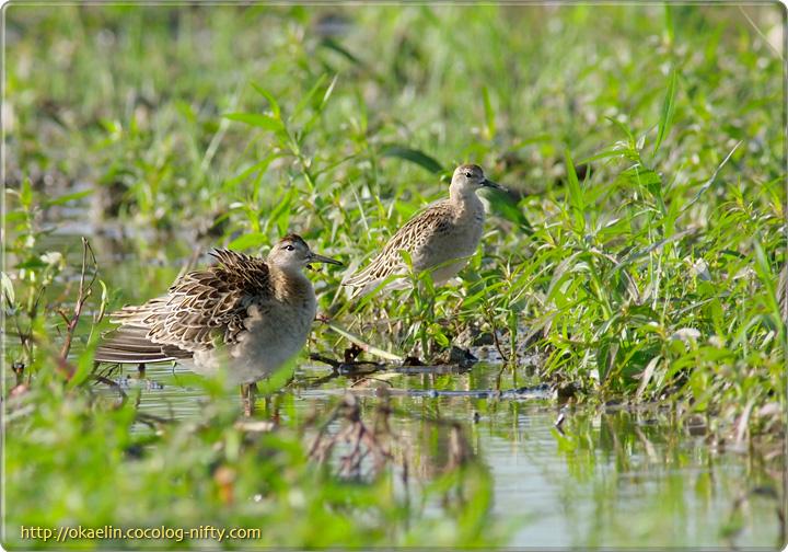 エリマキシギ幼鳥(左:♂ 右:♀)