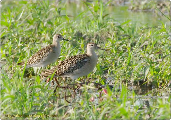 エリマキシギ幼鳥(左:♀ 右:♂)