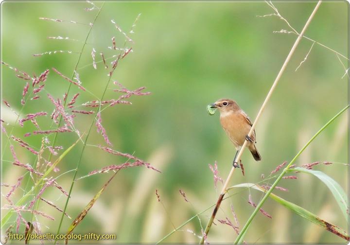 ノビタキ若鳥