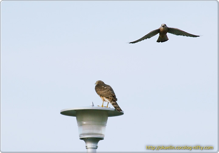 ハイタカ若鳥を威嚇するチョウゲンボウ