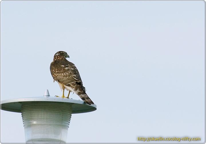 ハイタカ若鳥