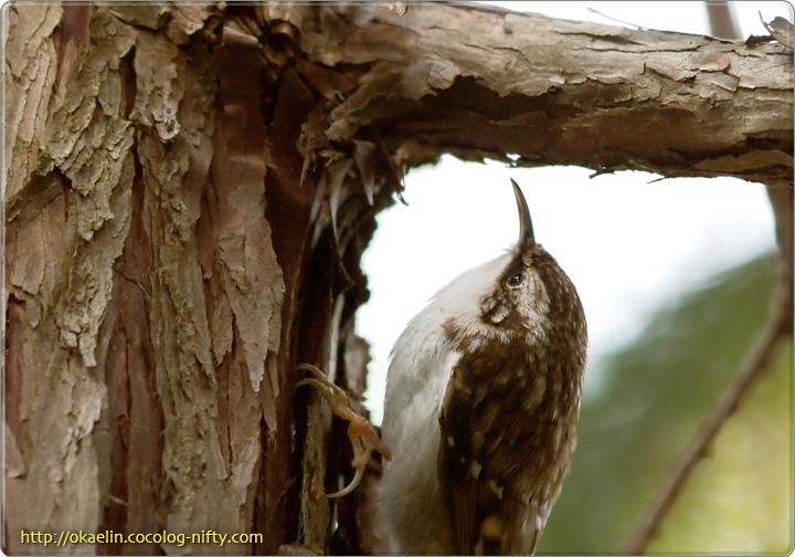 キバシリ 枝の付け根部分は虫が多いようです