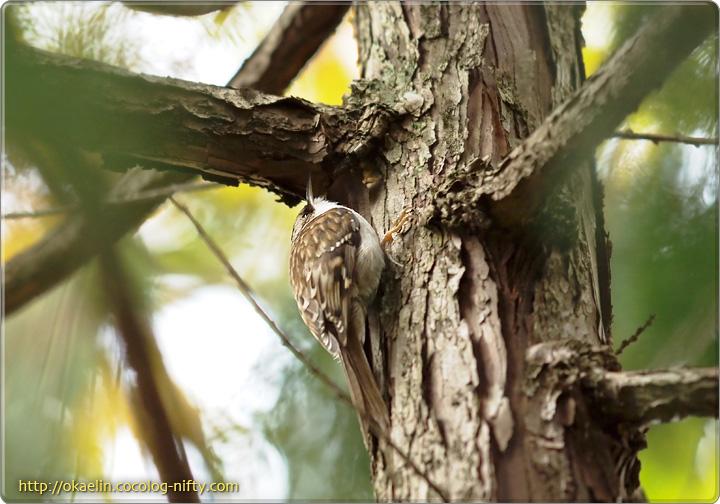 キバシリ 枝の根元を突つきます