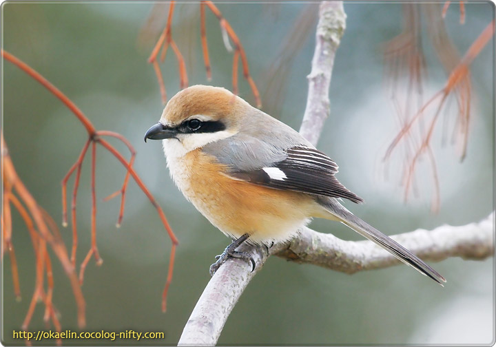 http://okaelin.cocolog-nifty.com/images/birdwatch/2012021831.jpg