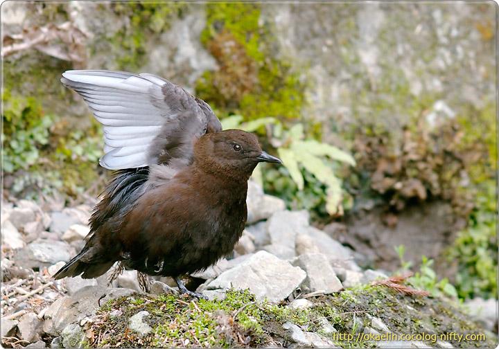 カワガラス親鳥