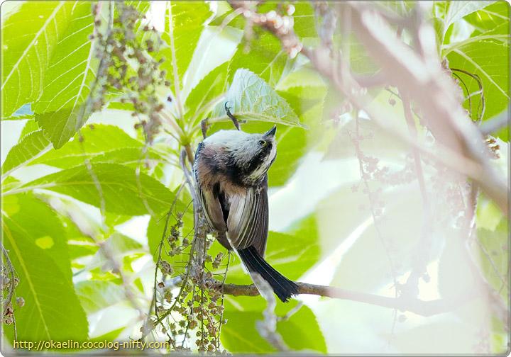エナガ成鳥