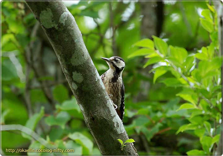 オオアカゲラ幼鳥