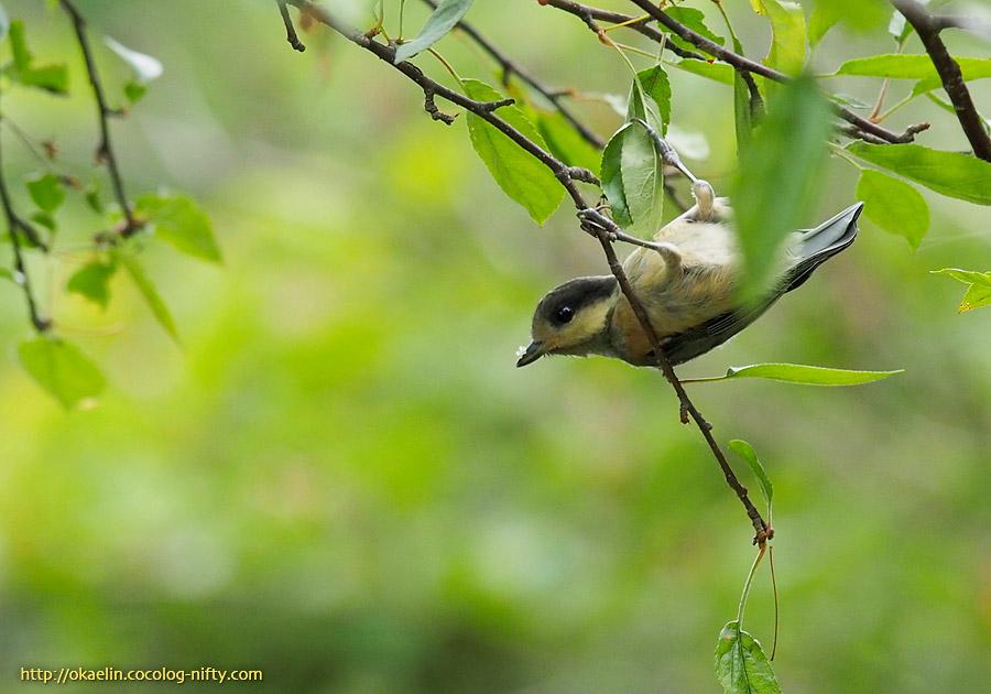 ヤマガラ幼鳥 ヤマガラ幼鳥 ※クリックで大きくなります ヤマガラ幼鳥 ※クリックで大き... ヤ