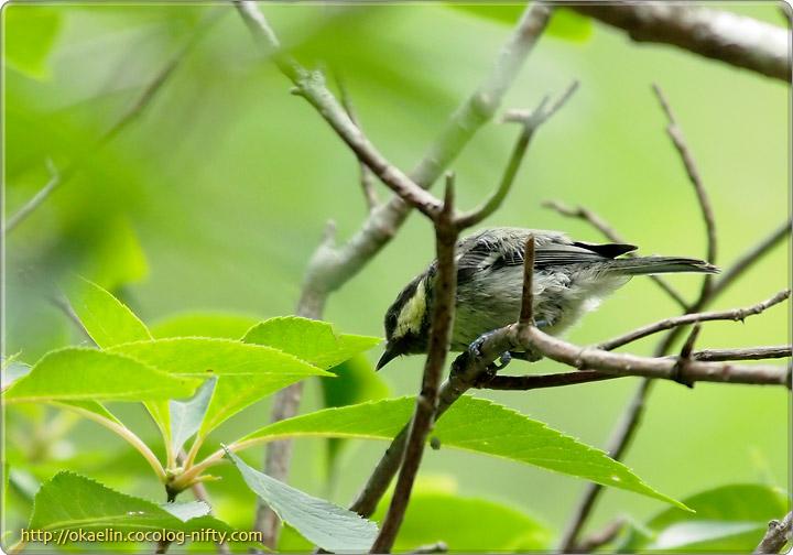 ヒガラ成鳥