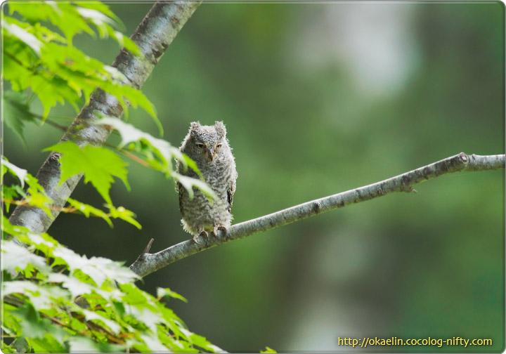 コノハズク巣立ち雛