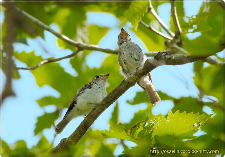 コサメビタキ(左:幼鳥、右:親鳥)