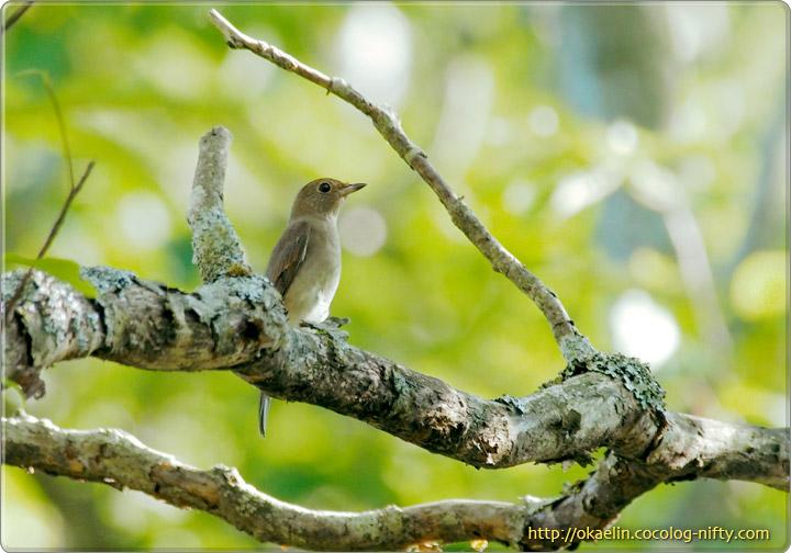 オオルリ若鳥♀
