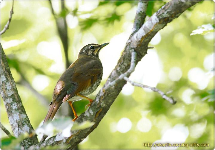 マミジロ若鳥