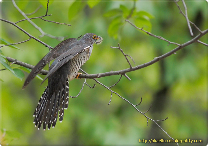 ツツドリ若鳥