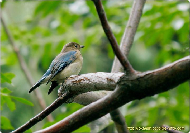 オオルリ♂若鳥