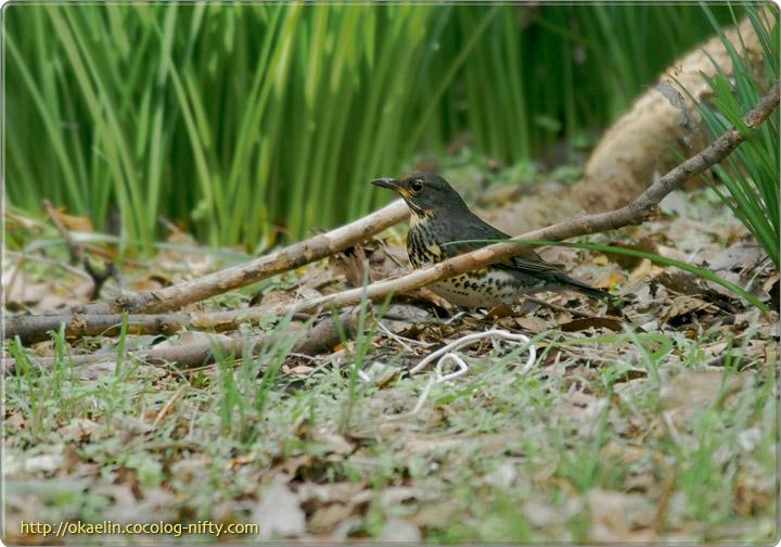 クロツグミ♂若鳥