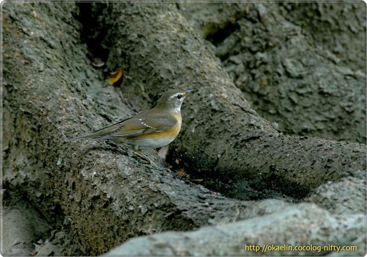 マミチャジナイ若鳥